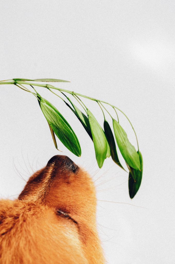 brown dog sniffing a green stem in a bare room.